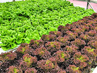 Pick your own live, growing Lettuce